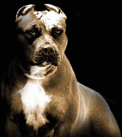 """un pitbull come cane di quartiere?"""""""